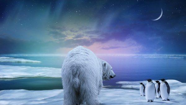 belyj-medved