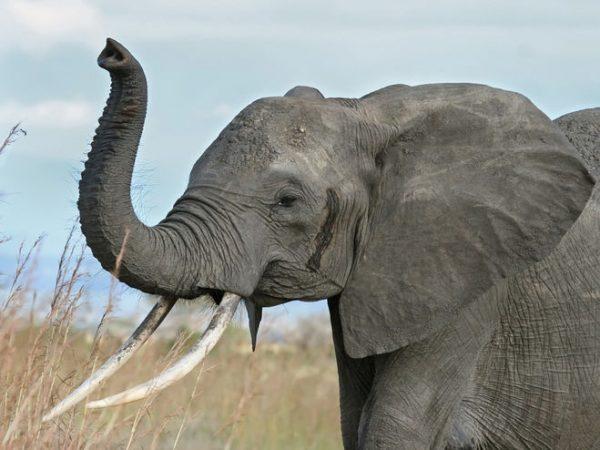 zachem-slonu-xobot